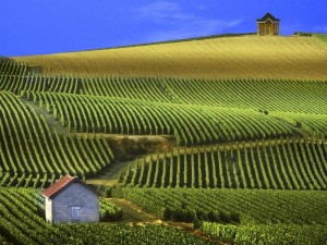 Beautiful panorama of a vineyard in Champagne, France.